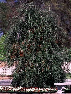 Yaupon Holly, Weeping