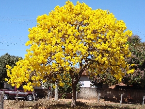 The Yellow Tabebuia is a beautiful tree with silvery leaves and clusters of bright yellow flowers. It blooms in late winter and early spring.