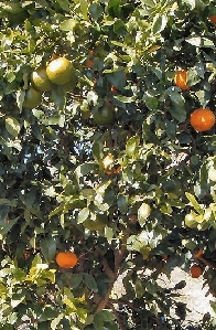 Citrus Cocktail Tree