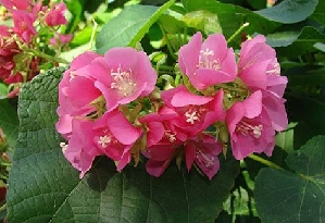 Dombeya 'Seminole Pink'