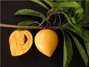 Canistel / Eggfruit