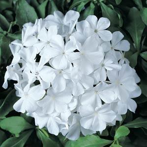 Plumbago, White