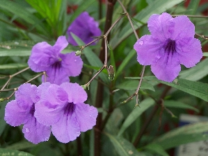 Ruellia, Purple