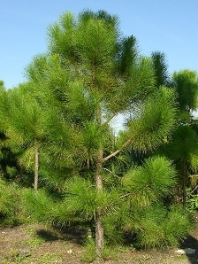 Slash Pine, South Florida