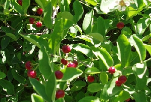 Barbados Cherry / Acerola